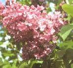 Marechal fuchs lilac - Gardenaway