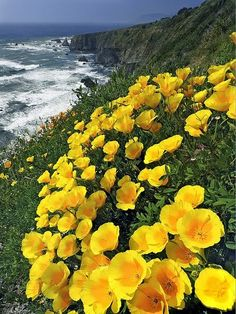 Beauty Of NatuRe: California Poppies in Mendocino County