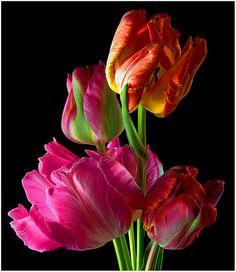 Parrot tulips (Tulipa cv.) #Flv35 | Flickr - Photo Sharing!