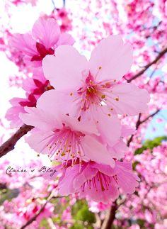 櫻花 - Google 搜尋