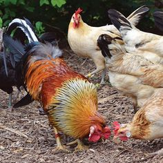Icelandic Chickens: A Heritage Chicken Breed for Modern Homesteads - Homesteading and Livestock - MOTHER EARTH NEWS