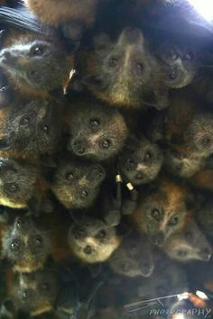 Grey-headed Flying Fox babies at crèche.