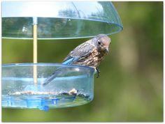 Young Eastern Bluebird