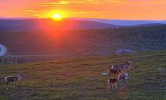 Reindeers on the hill in finnish Lapland at midnight.
