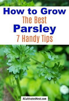 7 Tips for Growing Parsley- Parsley is a very useful (and tasty) herb that can be very easy to grow, if you know a couple of important things! Here are 7 handy tips for growing parsley! Growing Herbs, Growing Vegetables, Parsley Growing, Handy Tips, Helpful Hints, Organic Gardening, Gardening Tips, Parsley Plant, Mulch Around Trees