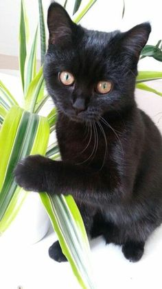 This black kitty is so precious… Click the Photo For More Adorable and Cute C… This black kitty is so precious… Click the Photo For More Adorable and Cute Cat Videos and Photos Fluffy Kittens, Ragdoll Kittens, Cute Cats And Kittens, Kittens Cutest, Kitty Cats, Animal Gato, Amor Animal, Beautiful Cats, Animals Beautiful