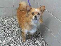 SAFE --- #A473749 Release date 10/9 I am a male, brown Pomeranian mix. Shelter staff think I am about 3 years old. I have been at the shelter since Oct 02, 2014.    City of San Bernardino Animal Control-Shelter. https://www.facebook.com/photo.php?fbid=10203664434948988&set=a.10203202186593068&type=3&theater
