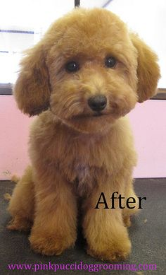 After grooming toy poodle
