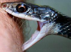 Garter snake bite. Big eyes.