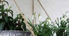 Slnečné lúče svietia čoraz teplejšie a postupne začínam otužovať kvety, ktoré sa doposiaľ vyhrievali za oknom na parapetnéj doske. A keďže... Plants, Flora, Plant, Planting