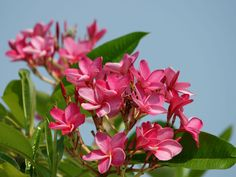 Flores Plumeria, Plumeria Care, Plumeria Flowers, Blooming Succulents, Planting Succulents, Planting Flowers, Succulent Planters, Big Plants, Exotic Plants