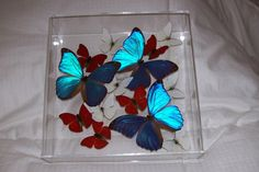 Real Butterflies in a Very Colorful and by ButterflyArtwork, $325.00