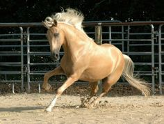 Paso Fino gelding. A gaited horse developed in the Caribbean and Central America (especially Colombia and Puerto Rico) from Andalusian stallions bred to Barb mares. photo: Mandy.