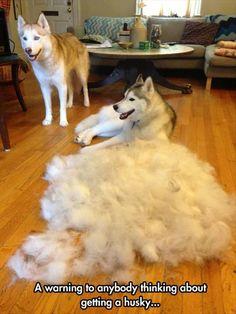 Siberian Huskies do shed...alot!
