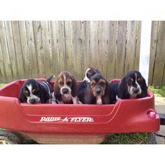 6 week old Basset Hound puppies. Sooo cuteee!!! I want onee in a few years!(: so dang cute.. (:
