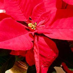 Rojo, uno de los colores de la Navidad... Sangre, pasión, amor... El color del traje de Papá Noel que @cocacola popularizó en su publicidad desde 1931. . . #rojo #navidad #papanoel #cocacola #red #christmas #santa #santaclaus #coke #christmastime #christmasvibes #christmascolors