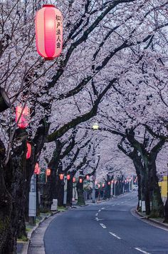 A street of Cherry Blossoms and lanterns in Matsudo, Japan Aesthetic Japan, Japanese Aesthetic, Cherry Blossom Japan, Cherry Blossoms, Animes Wallpapers, Cute Wallpapers, Japon Tokyo, Japan Street, Scenery Wallpaper