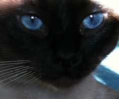 Seal Point Siamese...Beautiful My favourite