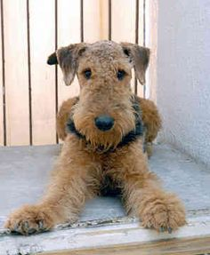 Love of Airedales.  Still miss you Miss Bella and thankful for our Little Miss Greta who looks a lot like this cute pooch.
