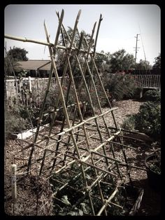 We cut down some bamboo and built a trellis for our tomatoes this year.  We used hemp to lash the bamboo pieces together.