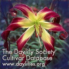 ROYAL CELEBRATION daylily - Google Search