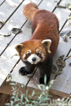 Red Panda c: Animals And Pets, Baby Animals, Funny Animals, Cute Animals, Cute Creatures, Beautiful Creatures, Animals Beautiful, Amor Animal, Mundo Animal