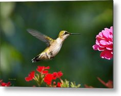 Summer Hummingbird Metal Print by Christina Rollo.  All metal prints are professionally printed, packaged, and shipped within 3 - 4 business days and delivered ready-to-hang on your wall. Choose from multiple sizes and mounting options.