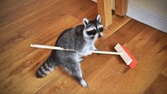 Everyone knows that raccoons are clever animals. But is a raccoon smart enough to sweep the kitchen floor for you? Watch and decide for yourself. Clever Animals, Cute Funny Animals, Strange Animals, Afv Funny Videos, Funny Parrots, Funny Raccoons, Squirrels, Pet Raccoon, Funny Pigs