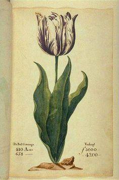 """En el punto más álgido de la tulipomanía de 1636-7, un bulbo de la especie """"Virrey"""" se vendía en 3000 a 4200 florines. El mínimo, en dinero de la época, es equivale a alguno (uno solo) de los siguientes: - 120 veces el sueldo mensual de 25 florines de un artesano experimentado de la época.- 100 """"cerdos gordos""""- 25 bueyes- 31 toneladas de mantequilla"""