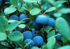 Blueberry ~ Vaccinium uliginosum  Blueberries are great in pies, jams, and with ice cream.   Alaska Natives use the berries in their own kind of ice cream, what Dena'ina Athabascans call nivagee, traditionally made of bear fat, sugar, fish, and berries.