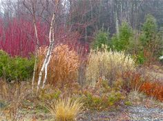 The Hemlock (Tsuga canadensis) trio provides color and textural contrast and backdrop to the red-twig dogwood, birch and ornamental grasses in the foreground of this garden.