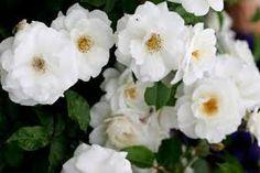 White Prim Rose Bush