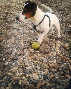 jack russell puppy We sure love our Jack Russell Terriers - I Love Dogs, Cute Dogs, Training Your Dog, Training Tips, Jack Russells, Bull Terrier Dog, Jack Russell Terrier, Amazing Dogs, Beautiful Dogs