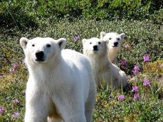 Polar bears in July, Churchill, Manitoba - Polar Bears International - via Frontiers North Adventures