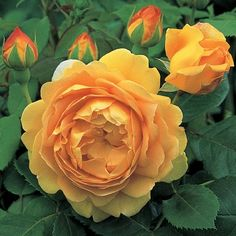 Golden Celebration - David Austin Roses