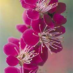 Japanese Apricot (Prunus Mume Beni-Chidori)