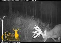 The monster bucks are really moving now at Oak Creek and they are starting to check out the does. Big Whitetail Bucks, Oak Creek, Show White, White Tail, Deer Hunting, Ranch, Trail, Fishing, Wildlife