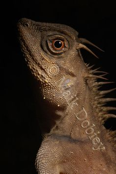 Acanthosaura armata; Mountain Horned Dragon