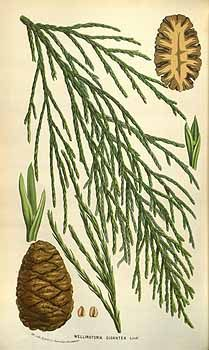 54325 Sequoiadendron giganteum (Lindl.) J.Buchholz [as Wellingtonia gigantea…