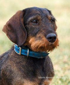 Daschund, Dachshund Puppies, Dachshund Love, Dogs And Puppies, Animals And Pets, Cute Animals, Dog Love, Puppy Love, Wire Haired Dachshund