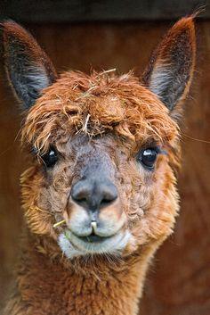 View top-quality stock photos of Alpaca Closeup Of Head. Happy Animals, Farm Animals, Animals And Pets, Cute Animals, Alpacas, Llama Arts, Llama Llama, Funny Llama, Cutest Animals