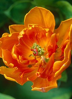 Suzie Gibbons, flowerpower pictures, photographer specialising in horticultural, garden photography and garden features. Parrot Tulips, Garden Features, Grass, Bulbs, Tat, Pretty, Plants, Photography, Beautiful