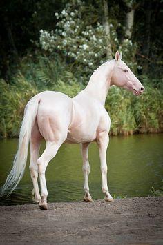 albino_achal_tekkiner_achal teke_pferd_wüstenpferd_cremello_weiß_creme_see_landschaft_pigment_10049839_xxl-kl.jpg (385×580)