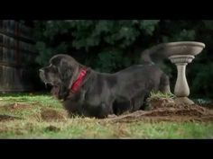 Bank of America Benny Big Newfoundland Dog Commercial TV Ad 2013 with Benny as Adult Dog and Puppy
