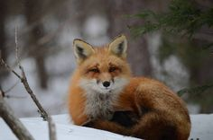 On a cold winter's day we found ourselves in the company of a Red Fox as fine snowflakes settled on its fur in Algonquin Provincial Park.
