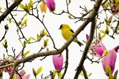 Male American Goldfinch in mom's Magnolia tree ~ Brandace Myers 2015