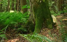 Mossy Sugar Maple and ferns in a Western Mass old growth forest. Ray Asselin, New England Forests.