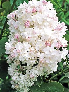 Beauty of Moscow Lilac White Flowers, Beautiful Flowers, Black Roses, Purple Roses, Top Flowers, Exotic Flowers, Spring Flowers, Dutch Gardens, Flower Pot Design