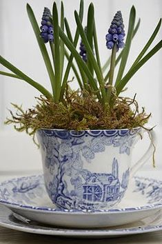 blue and white tea cup with potted hyacinths