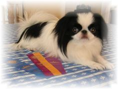 """Japanese Chin """"Zuki"""" from Megumi Chin with his first show ribbons!"""